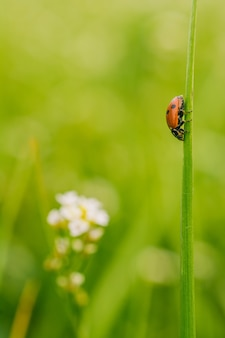 Vertical selective focus view of a ladybird beetle on a plant in a field captured on a sunny day