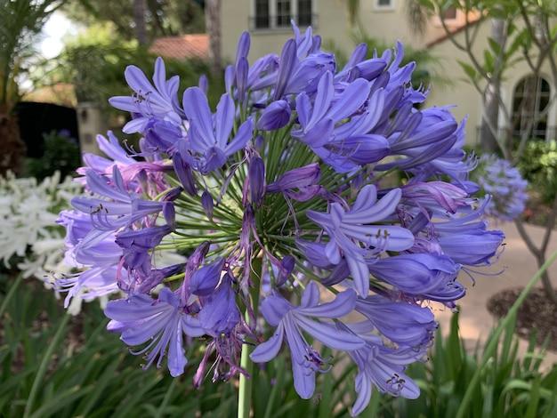 公園で紫色のアガパンサスの花の垂直浅焦点クローズアップショット
