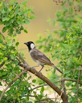 Fuoco superficiale verticale colpo di un uccello bulbul dalle orecchie bianche in un albero