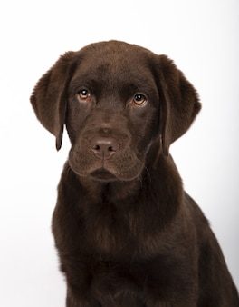 Vertical shot of an adorable chocolate labrador puppy on white background