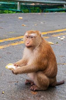 Colpo verticale di una scimmia adorabile che si siede sulla strada e che mangia una banana