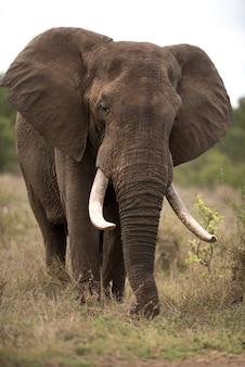 Colpo verticale di un elefante africano con uno sfondo sfocato