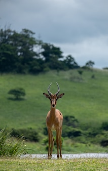 Vertical shot of a beautiful antelope standing in a valley