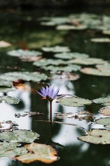 Colpo verticale di una bella ninfea viola su uno stagno