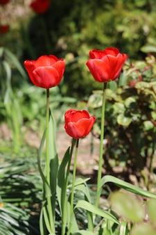 Colpo verticale di bei tulipani rossi in un giardino