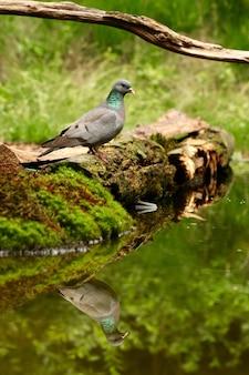 Colpo verticale di una bella colomba di riserva che riflette sul lago
