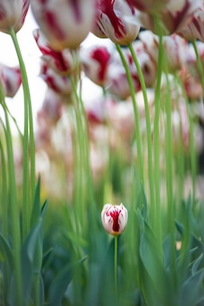 Vertical shot of beautiful tulip flowers with one small tulip just growing out of the ground