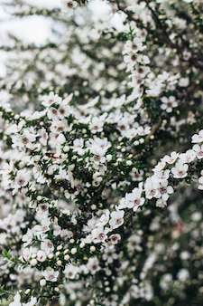 Vertical shot of beautiful white flowers on a tree during spring
