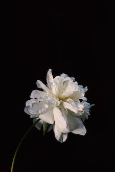 Vertical shot of a beautiful white-petaled peony flower on a black