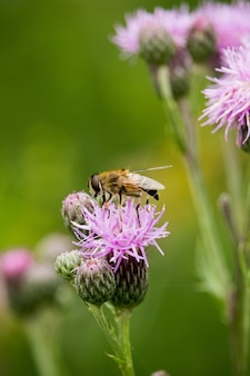 Vertical shot of a bee on knapweed in a field under the sunlight with a blurry