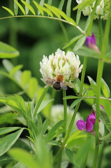 Vertical shot of a bee sitting on a white dutch clover