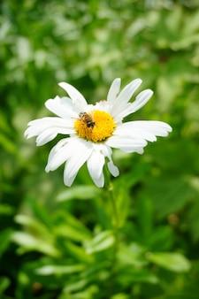 Colpo verticale di un'ape su un fiore bianco in giardino in una giornata di sole