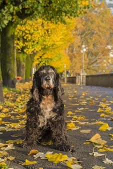 Vertical shot of a black spaniel on the ground surrounded by trees in a park in autumn