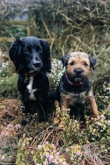 Vertical shot of a border terrier and a spaniel sitting on dry grass