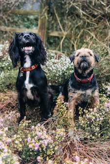 Colpo verticale di un border terrier e uno spaniel seduto sull'erba secca