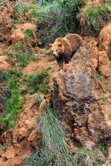 Vertical shot of a brown bear in nature