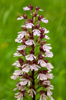 Colpo verticale del fiore bruciato dell'orchidea