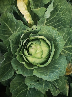 Vertical shot of a cabbage plant in the field