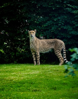 Vertical shot of a cheetah standing on a grass ground with green leaves in the background