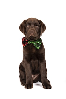 Vertical shot of a chocolate-colored labrador puppy with a sequin bow tie on white background