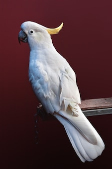 Vertical shot of a cockatoo perched on a bar against a maroon background Premium Photo