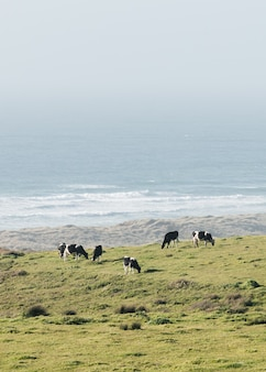 Vertical shot of cows grazing in a field at the ocean shore