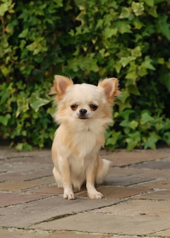 Vertical shot of cream colored cute chihuahua dog standing on the pavement