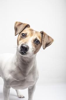 Colpo verticale di un curioso jack russell terrier