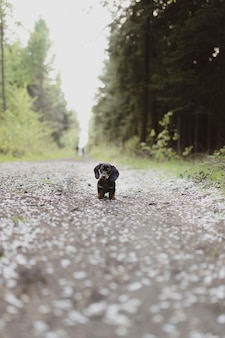 Vertical shot of a cute dachshund standing on the road
