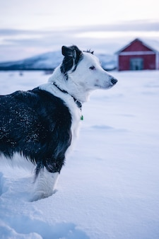 Vertical shot of a cute dog standing in the snow in the north of sweden
