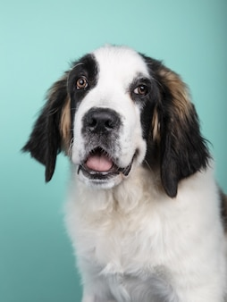 Vertical shot of a cute puppy of st. bernard isolated on a green background