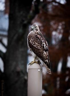 Colpo verticale di un simpatico falco dalle spalle rosse in piedi su un bastone