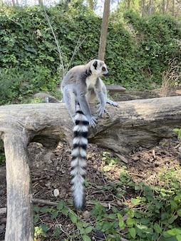 Ripresa verticale di un simpatico lemure dalla coda ad anelli che gioca su un ramo di un albero in un parco