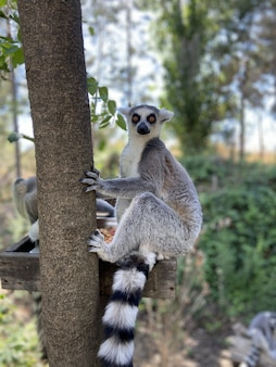 Vertical shot of cute ring-tailed lemurs playing on a tree branch in a park