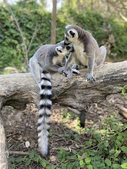 Colpo verticale di simpatici lemuri dalla coda ad anelli che giocano su un albero in un parco