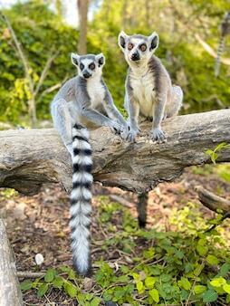 Vertical shot of cute ring-tailed lemurs playing on a tree in a park