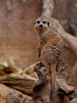 Vertical shot of a cute single meerkat sitting on a wood piece in a forest