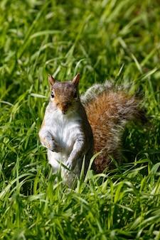 Colpo verticale di un simpatico scoiattolo sull'erba