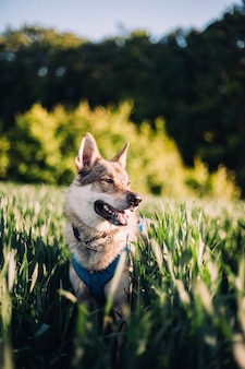 Vertical shot of a czechoslovakian wolfdog in a field with tall grass during daylight