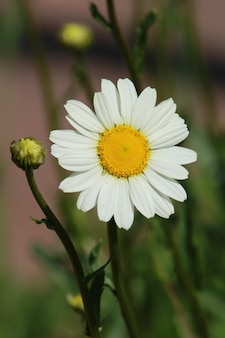 Vertical shot of a daisy with a blurred