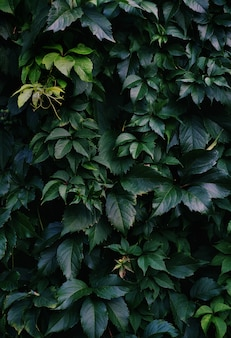A vertical shot of deep green leave covering the wall