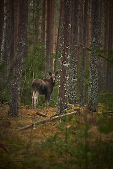 Vertical shot of a deer in the forest with tall trees during the daytime