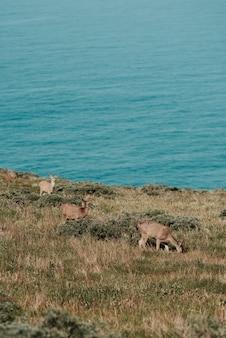 Colpo verticale di cervi al pascolo sull'erba sul corpo del mare blu