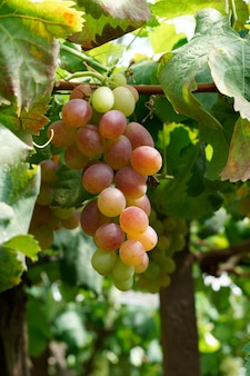 Colpo verticale di deliziose uve