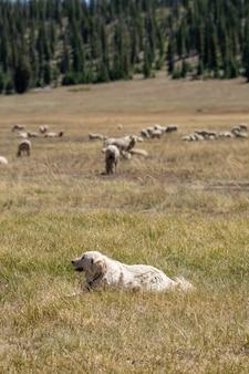 Vertical shot of a dog guarding a herd of grazing sheep in a field under the sunlight