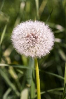 Colpo verticale di un dente di leone secco circondato da erba