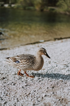 Vertical shot of a duckling walking on the sand near a river