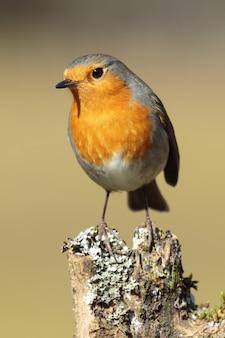 Vertical shot of a european robin standing on wood under the sunlight