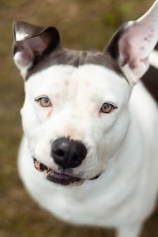 Ripresa verticale del volto di un dogo argentino con motivi in bianco e nero