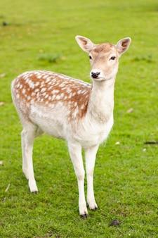 Vertical shot of fallow deer doe standing on a meadow with a green grass